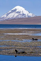 Sajama Volcano, Lago Chungara, Giant Coots Fulica gigantea, Lauca National Park, Chile, South America