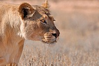 Lioness, Panthera leo, Kgalagadi Transfrontier Park, Northern Cape, South Africa
