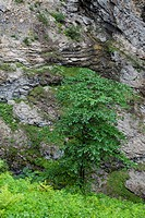 Beech in the steep slope of Breitachklamm in the