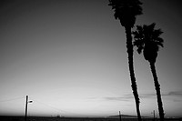 Palm Trees Along Beach, Silhouette, Los Angeles, California, USA