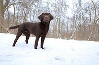 a young labrador dog standing in the snow in a park in Germany