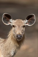 portrait of a female Sambar (Rusa unicolor), Ranthambore National Park, Rajasthan, India