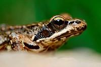 Iberian frog (Rana iberica) in a wood near San Juan de Rio, Orense province, Spain