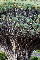 Dragon tree (Dracaena draco). Icod de los Vinos. Tenerife, Canary Islands, Spain