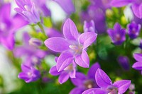 Germany, Blue bellflowers, close up