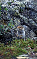 Squirrel Arctic Ground (Citellus parryii) Alaska