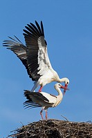 White stork, Ciconia ciconia, mating couple, Germany