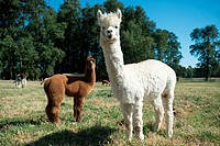 Alpaca (Vicugna pacos) on breeding farm located near Temuco in Chile