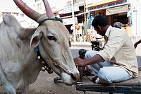 An Ox With Owner In Mysore, Karnataka, India