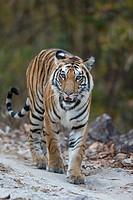 Tiger (Panthera tigris) walking on forest track, Kanha National Park, Madhya Pradesh, India.