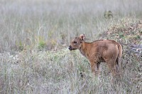 young Gaur (Bos gaurus) standing in grass, Kanha National Park, Madhya Pradesh, India
