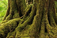 Temperate rainforest at Anna Inlet, Haida Gwaii (Queen Charlotte Islands) Gwaii Haanas NP, British Columbia, Canada