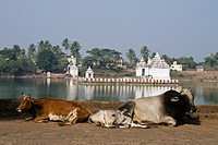 Cows Resting At Bindu Sarovar Lake. Bhubaneswar, 'city Of Temples, Orissa, India