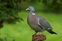 wood pigeon (Columba palumbus), sitting on a wooden post, Germany
