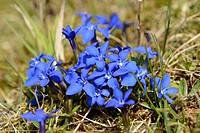 spring gentian (Gentiana verna), blooming, Germany
