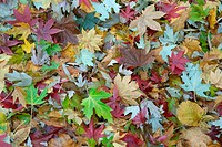 silver maple, white maple, bird's eye maple (Acer saccharinum), maple leaves of difefrent species in autum, Treblitzsch