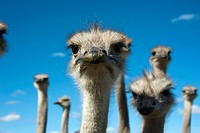 ostrich (Struthio camelus), portrait, South Africa, Western Cape, Oudtshoorn