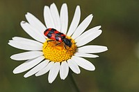 Soldier beetle, Checkered beetle (Trichodes alvearius), sitting on a daisy blossom, Germany, Baden-Wuerttemberg