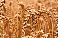 ripe wheat ear
