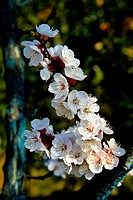 branch of flowering cherry, orchard, italy