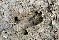 wild boar, pig, wild boar (Sus scrofa), foot print in mud, Germany