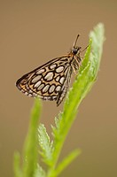 Large Chequered Skipper Heteropterus morpheus , Germany