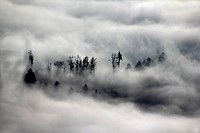 trees jutting out of dense fog, Germany, Baden-Wuerttemberg, Black Forest