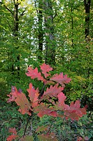 northern red oak (Quercus rubra), red leaves in front of the green forest, Germany