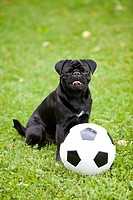 Young black pug with a football on a grass field