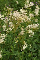 meadowsweet, queen-of-the-meadow (Filipendula ulmaria), blooming, Germany
