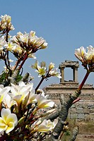 Flowering Frangipani Tree With Temple In The Background At Hampi, Karnataka, India