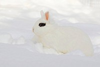 Lionhead rabbit (Oryctolagus cuniculus f. domestica), white with dark fleck at the eye sitting in the snow, Germany
