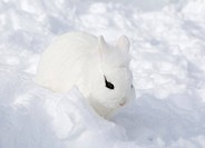 Lionhead rabbit (Oryctolagus cuniculus f. domestica), white rabbit with dark fleck at the eye sitting in the snow, Germany