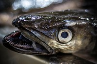 Photo of a Hake