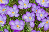 Crocus, Crocus vernus, Hamburg, Germany.
