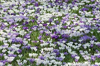 Crocus, Crocus vernus, Hamburg, Germany