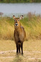 Female waterbuck, Queen Elizabeth National Park, uganda