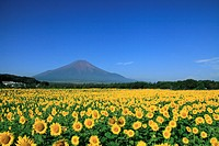 Sunflower field and Mount Fuji