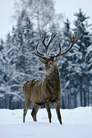 Red Deer (Cervus elaphus), hart standing in the snow, captive