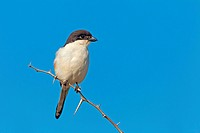 fiscal shrike (Lanius collaris), sitting on a twig, South Africa, Hluhluwe-Umfolozi National Park, Mpila Camp