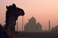Taj mahal at sunrise. In the foreground, a dromedary. Agra, India.