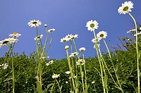 Oxeye Daisies, Marguerite (Leucanthemum vulgare) against the blue sky
