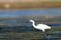 Europe, Egret, Little Egret, Egretta garzetta, bird, white, water