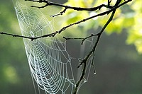 A wet spider web catches the wind like a sail on a spring morning, Pennsylvania, USA.