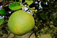 Pomelo fruit (Citrus maxima)