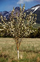 Young Crabapple tree - Paradise Valley - Montana springtime