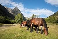 Wild horses grazing along the GR 11 near the village of Espot - Aigüestortes i Estany de Sant Maurici National Park, Lleida, Cataolina, Spain.