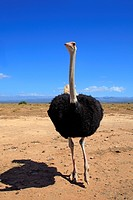 Ostrich or Common Ostrich (Struthio camelus australis), male
