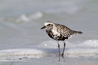 Black-Bellied Plover (Pluvialis squatarola) in breeding plumage; on Gulf beach, Pinellas County, Florida, USA (AA)