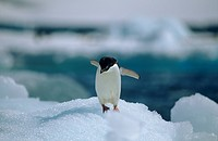 Adelie Penguin on Ice Flow (Pygoscelis adeliae) Antarctic Peninsula